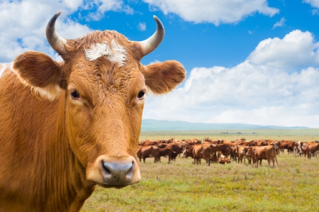 domestic cattle: cow  head  and herd of cows grazing at green summer pasture, collage Stock Photo