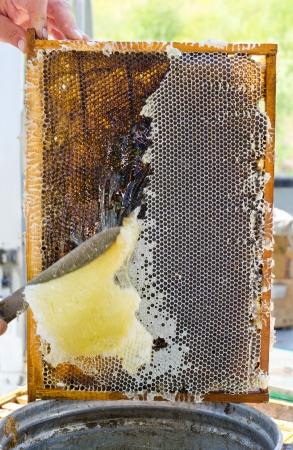 Honey comb: beekeeper cuts off wax from honeycomb frame