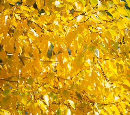 many autumn yellow poplar leaves, closeup shot photo