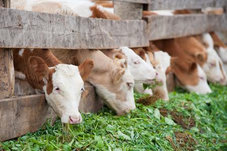 feeder: some farm calves eating green grass fodder