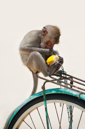 sittting: small monkey sittting at bicycle and eating boiled corn