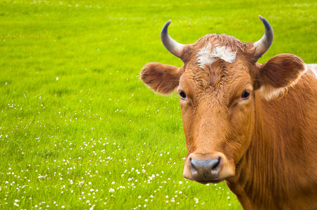 livestock sector: head of cow over summer green flower meadow