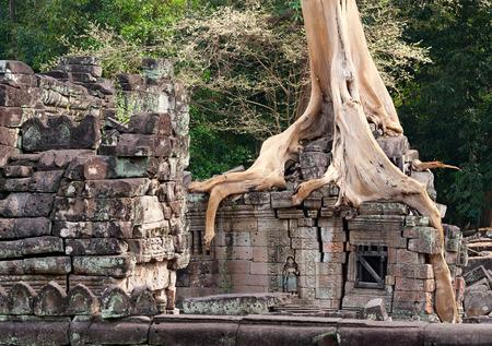 kingly: banyan rooting in stones of Angkor walls