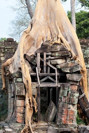 banyan tree: dried banyan rooting in stones of Angkor walls
