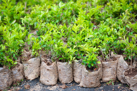 nursling: many young bush plants in packets with soil Stock Photo