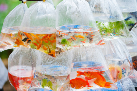 aquarian: different kinds of aquarian fish in plastic bags for sale