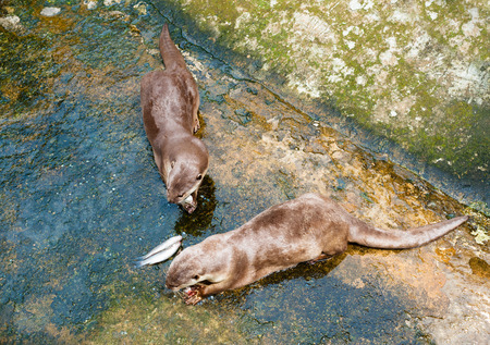 zoo as: Two European otters (Lutra lutra) eat fish at a zoo. Otter is listed as Near Threatened by the IUCN Red List.
