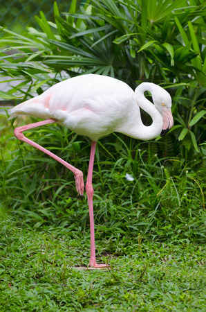 curved leg: greater flamingo (Phoenicopterus roseus) stands on one leg having curved its neck Stock Photo