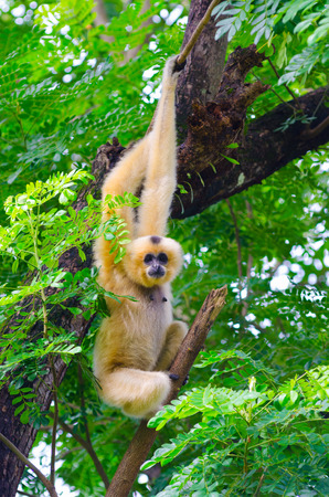 yellow cheeked gibbon looks into camera hanging on tree