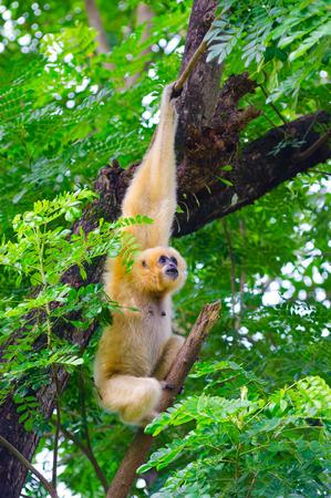 yellow cheeked gibbon hangs on tree looking sideways Stock Photo