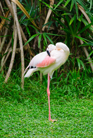 widespread: greater flamingo (Phoenicopterus roseus) cleans itself having curved its neck back Editorial