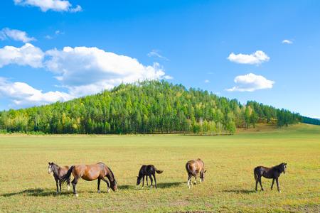 graze: group of horses graze at green pasture Stock Photo