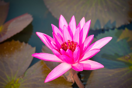 Nymphaea nouchali - Star lotus. It is the national flower of Sri Lanka and of Bangladesh.
