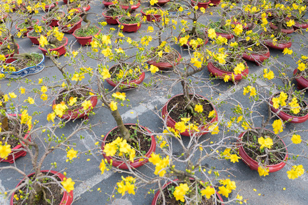 yellow blossom: many blossoming bonsai apricot trees - symbol of Tet - Vietnamese New Year