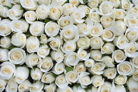 a background of lots of white roses Archivio Fotografico