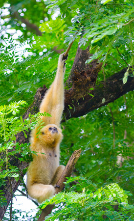 gibbon: yellow cheeked gibbon hangs on tree looking up