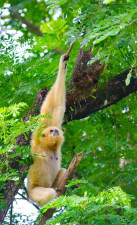 buffed: yellow cheeked gibbon hangs on tree looking up