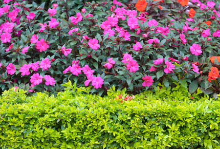 trimmed: bushes with pink flowers behind green trimmed ones