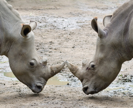 life threatening: two rhinos in threat posture opposite one another Stock Photo
