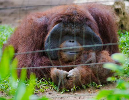 cage gorilla: orangutan sitting with arms folded behind mesh