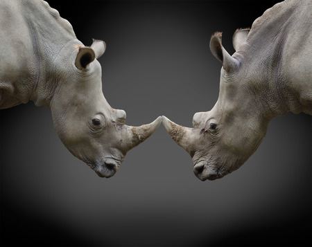 animosity: two rhinos in threat posture opposite one another Stock Photo