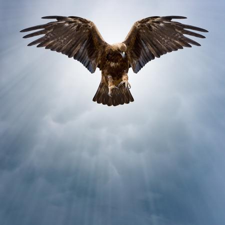 spread eagle: eagle with spread wings in the dark sky