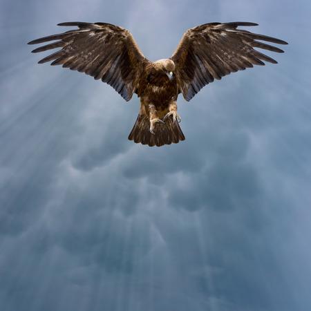 aigle royal: aigle aux ailes déployées dans le ciel sombre Banque d'images