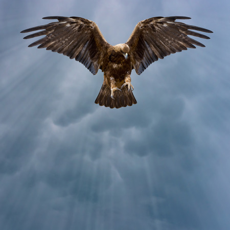 spread eagle: eagle with spread wings in the dark sky