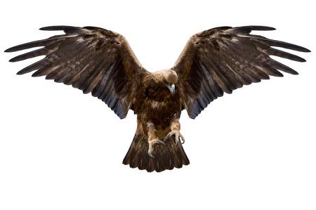 halcones: �guila con las alas extendidas, aislado m�s de blanco Foto de archivo