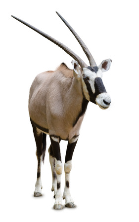 full length herbivore: The gemsbok or gemsbuck (Oryx gazella) is a large antelope in the Oryx genus. It is native to the arid regions of Southern Africa, such as the Kalahari Desert. Stock Photo