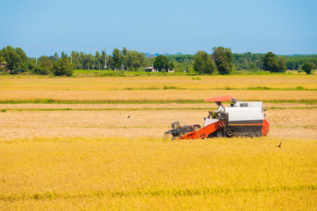 harvests: combine harvests ripe rice in the field
