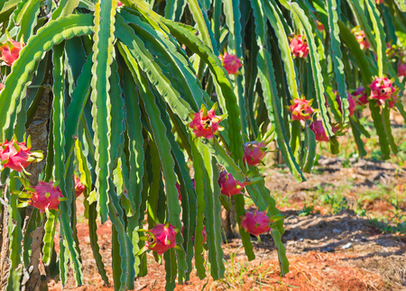 ripe dragon fruit (pitaya, pitahaya) on plantation in Vietnam Stock Photo