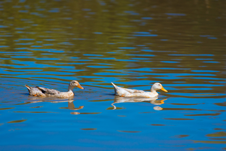 two ducks: two ducks move on water on sunny day