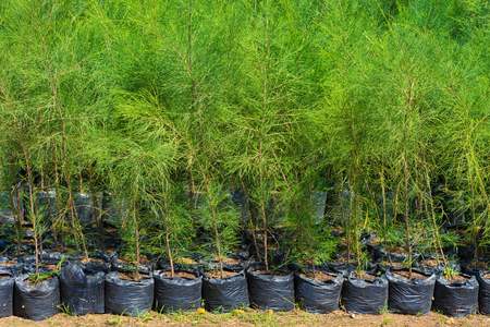thuja: thuja young plants in black sacks for sale
