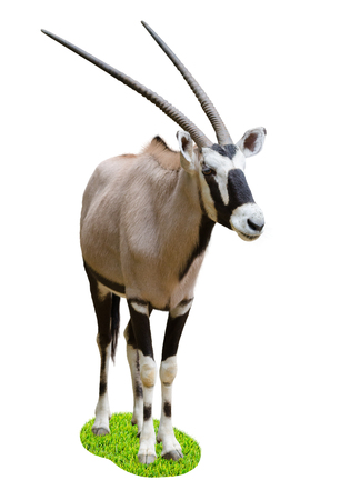 full length herbivore: The gemsbok or gemsbuck (Oryx gazella) is a large antelope in the Oryx genus. It is native to the arid regions of Southern Africa, such as the Kalahari Desert. Stock Photo