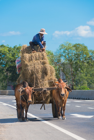 rick: a Vietnamese farmer drives hay on two bullocks