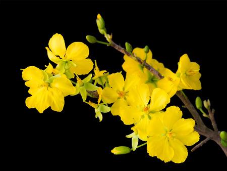 黒に分離された繊細な黄色い花を持つ杏の枝に咲く、