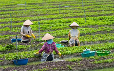 trabajando duro: tres mujeres vietnamitas de pie en la planta de agua fuera joven menta Foto de archivo