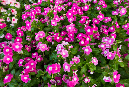 lowers: a lot of pink blooming periwinkles (vincas), top view