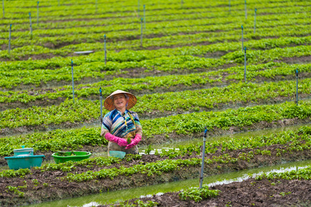 CAN THO, VIETNAM - MAY 18, 2016: A vietnamese woman plants out young mint standing in water. Can Tho is a city directly under the Central authorities, located in the centre of the Mekong Delta. Editorial
