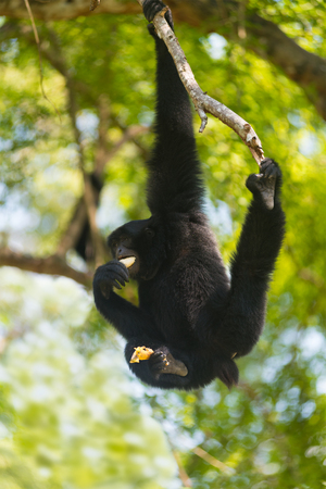 siamang: siamang (Symphalangus syndactylus) eats banana, hanging on tree