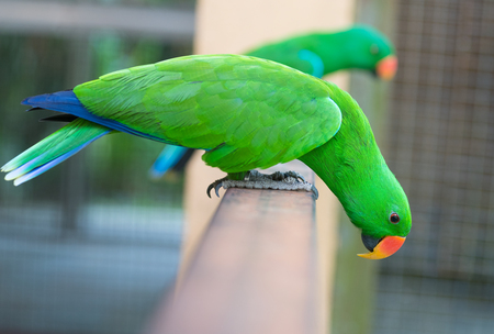 two green eclectus parrots (Eclectus roratus) stand on a metal railing