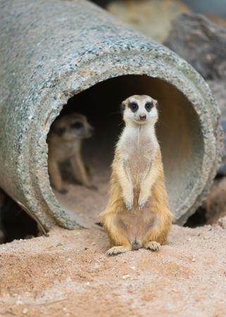 a standing meerkat or suricate (Suricata suricatta)
