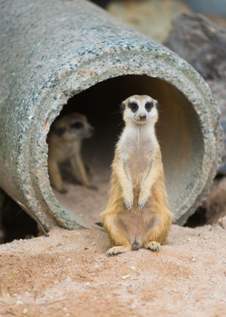 suricatta: a standing meerkat or suricate (Suricata suricatta)
