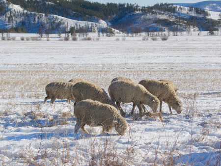 livestock sector: flock of sheep grazing at snow covered pasture