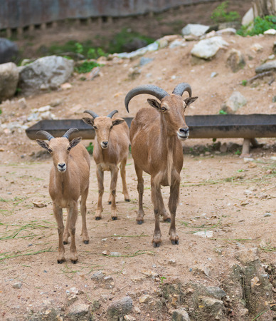 a Barbary sheep with its two lambs (Ammotragus lervia)
