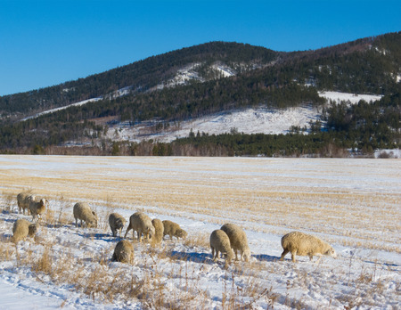 graze: flock of sheep graze at snow covered pasture