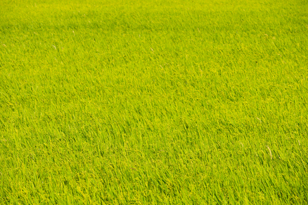 a field of green rice on a summer day Stock Photo