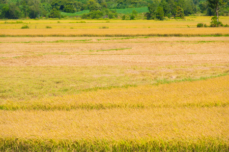 harvested: field of yellow ripe rice, half harvested