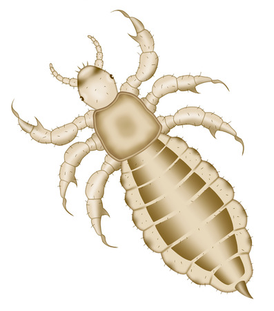 head louse (Pediculus humanus capitis) raster illustration top view